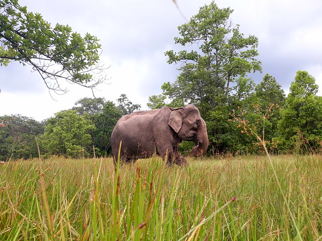 An elephant wandering free in Yok Don National Park