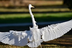 Great Egret ( well! the wings are wide )