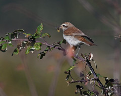 Red Backed Shrike (juv) b