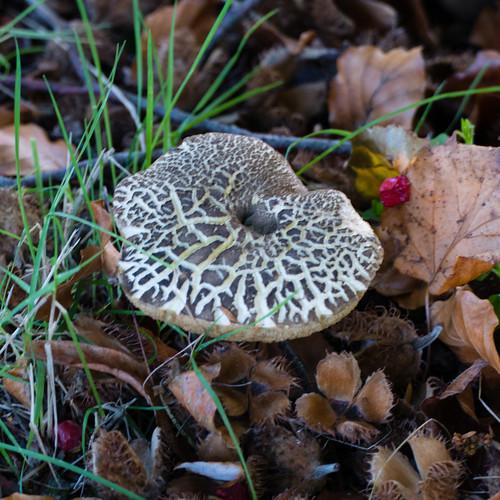 Autumn funghi: yellow cracked bolete