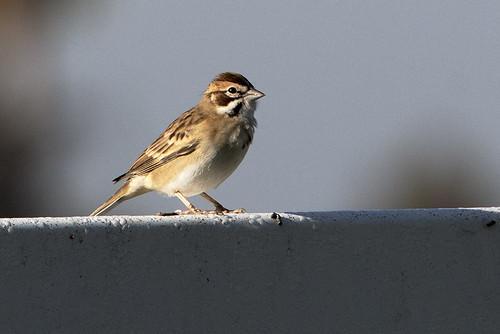 CA: Lark Sparrow