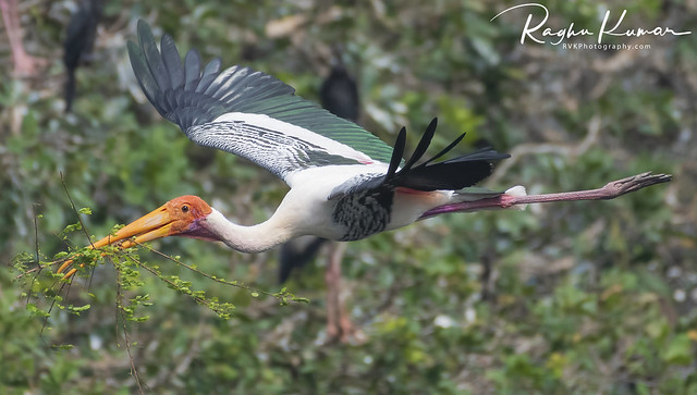 Painted Storks at Vedanthangal Bird Sanctuary, India