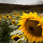 The last of the summers Sunflowers