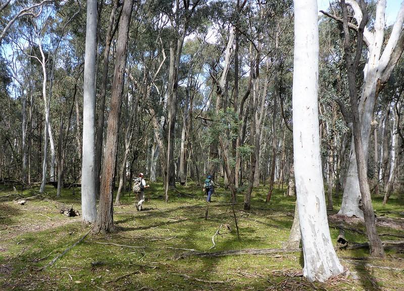 brittle gum forest