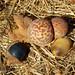 Gary Oak Leaf Gall & Acorns by curtisirish