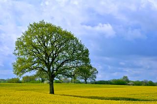 Rapsfeld mit Baum bei Ascheberg