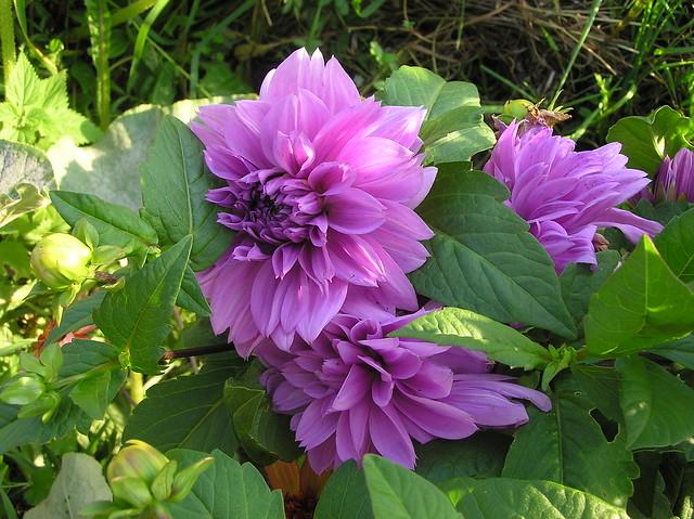 Dahlia 'Lilac Time