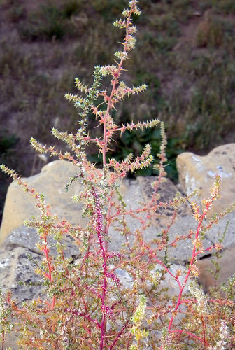 Spiky colourful weed at Mesa Verde in Colorado, USA