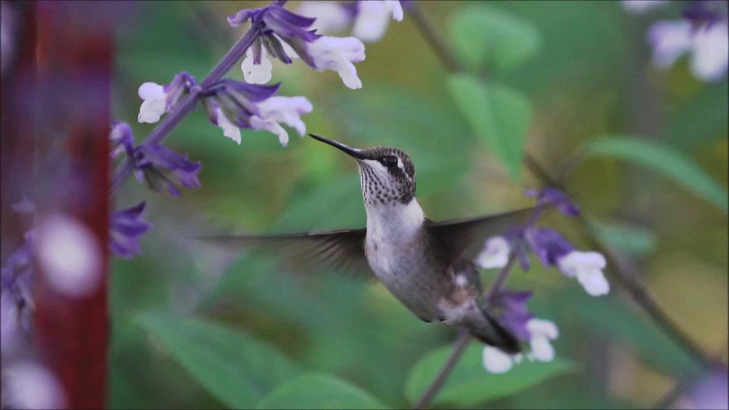 Hummingbird Slow Mo 092918 Clip 15 and 16
