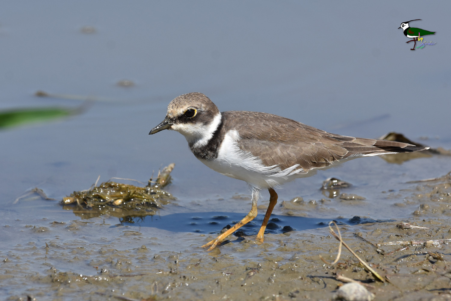 Little_Ringed_Plover_9286