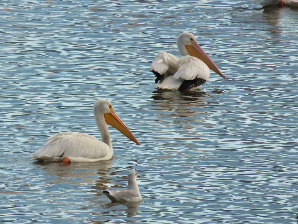 White pelicans and a seagull