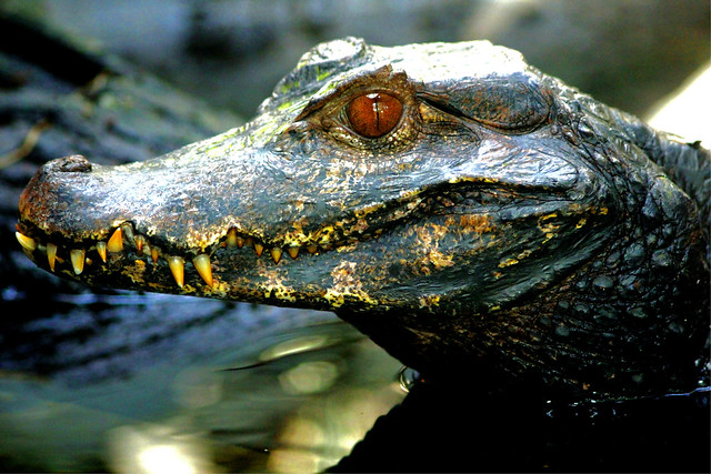 Krokodil - Crocodile