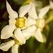 Narcissus / Нарцисс