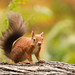 Red Squirrel foraging for nuts