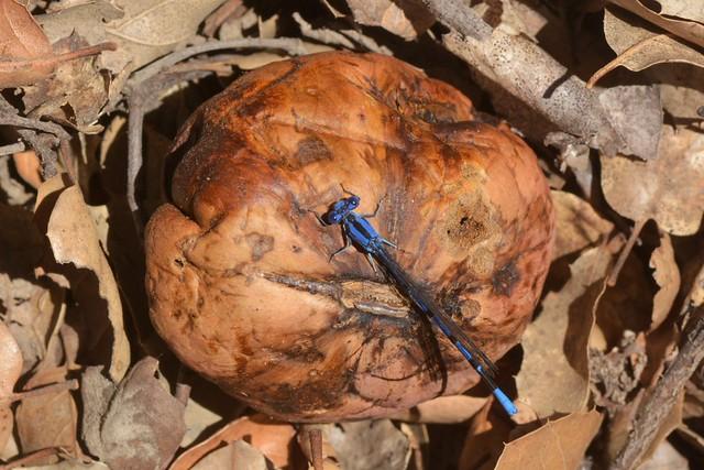Damselfly on an oak gall