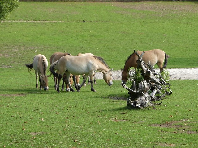 Przewalskipferd, Zoo Givskud