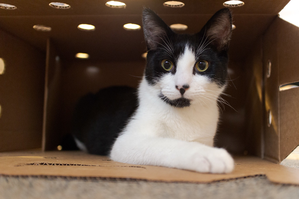 Our black-and-white kitten Boo looks out from the cardboard cat carrier we brought him home in