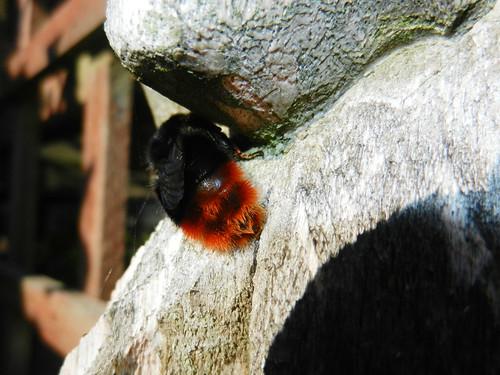 Bumblebee DSCN9061