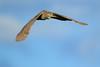 Bihoreau gris, Black-Crowned Night Heron by Serge Rivard