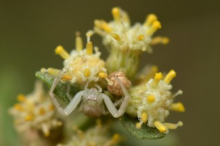 Crab Spider on Coyote Bush flowers