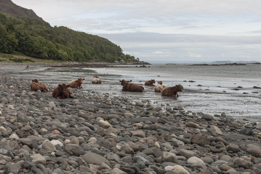Krowy highland