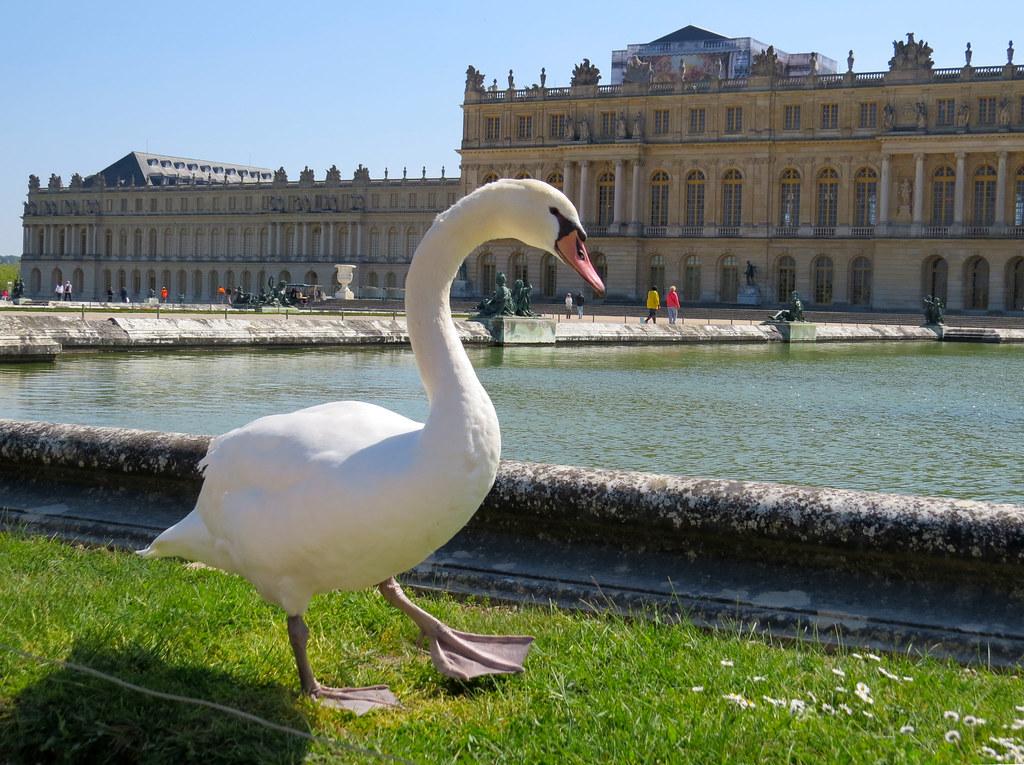Версальский лебедь