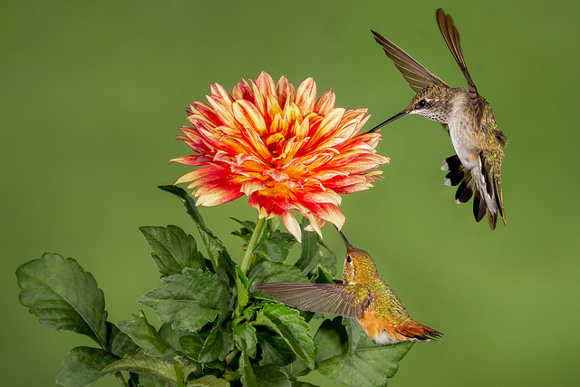 Rufous and Black-chinned Hummingbirds