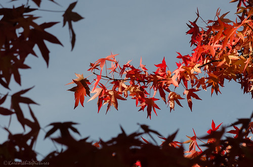 autumn maple 7/31