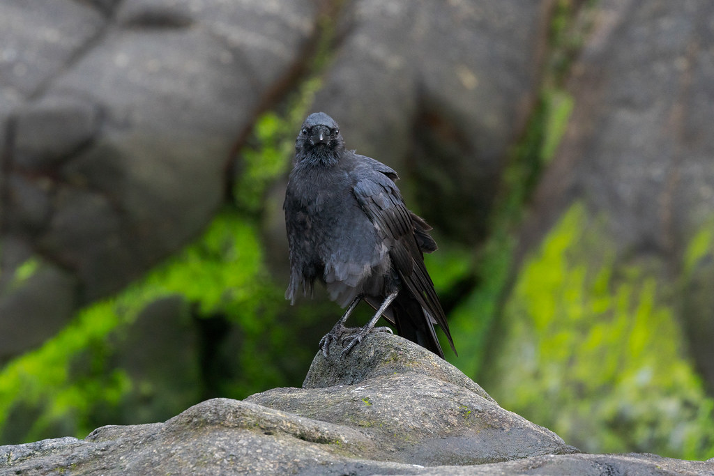 An American crow pauses while preening before moss-covered rocks at Heceta Head on the Oregon coast