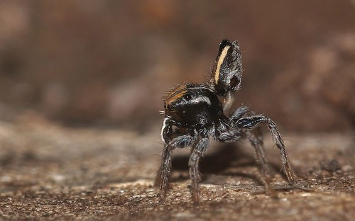male maratus purcellae
