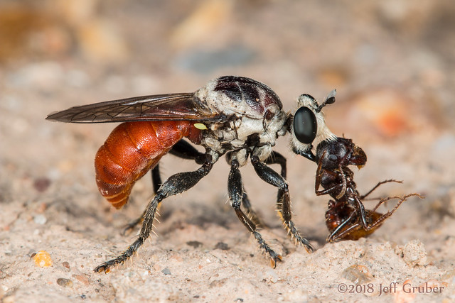 Robber Fly (Cerotainiops abdominalis) with prey