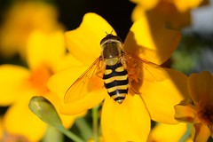 October Hoverfly