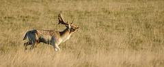 Grunting Buck