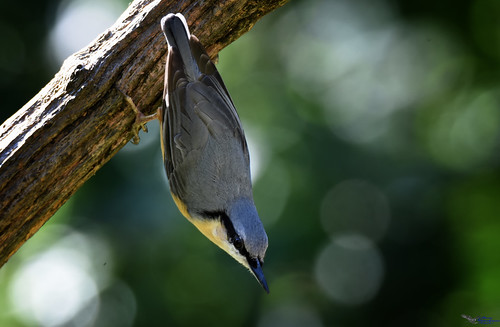 Nuthatch. (Explored).