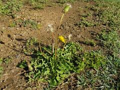 Taraxacum officinale plant NC17