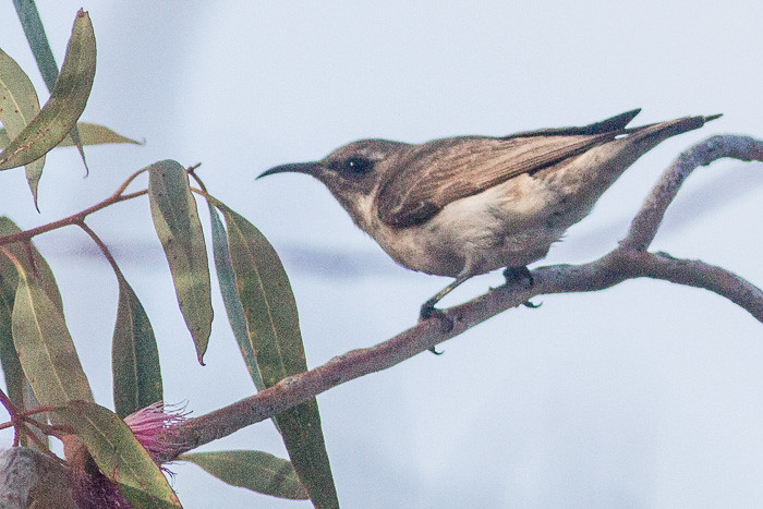 female Black Honeyeater