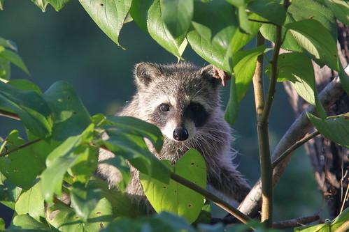 Raccoon 20181019