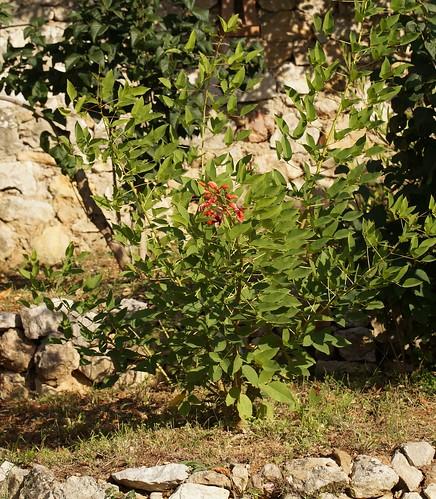 Erythrina crista-galli - Page 7 43815967980_f393f2f3c8