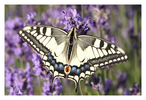 Another Swallowtail