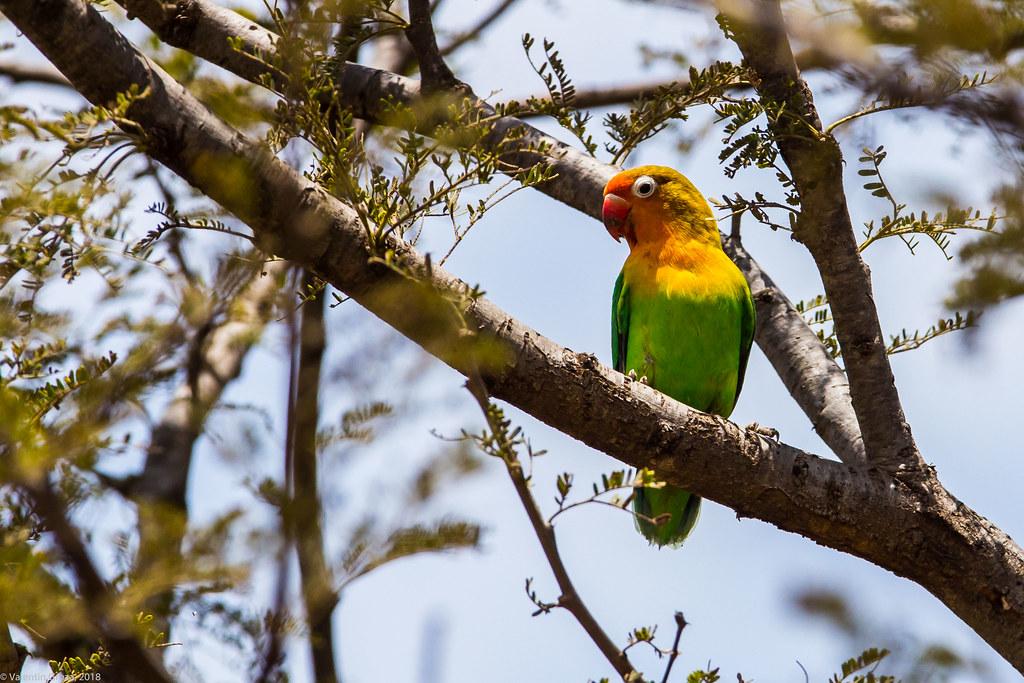 Serengeti_17sep18_11_lovebird