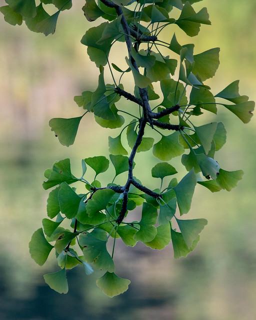 Still green ginkgo, Nikon 1 V3, 1 NIKKOR VR 70-300mm f/4.5-5.6