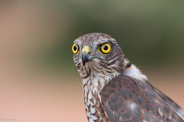 Esparver (Accipiter nisus)