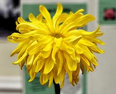 Chrysanthemum 'Peggy Stevens'
