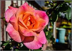 Rose d'amour - Photo of Tourville-en-Auge