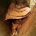 Southern Bracket - Ganoderma australe