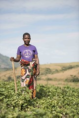 Malawi: OFSP and Potato work funded by Irish Aid.