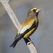 Male Evening Grosbeak (Coccothraustes vespertinus) by Don Delaney