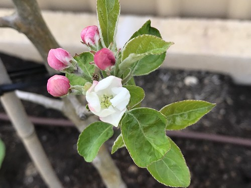 Pinkabelle Apple Blossoming