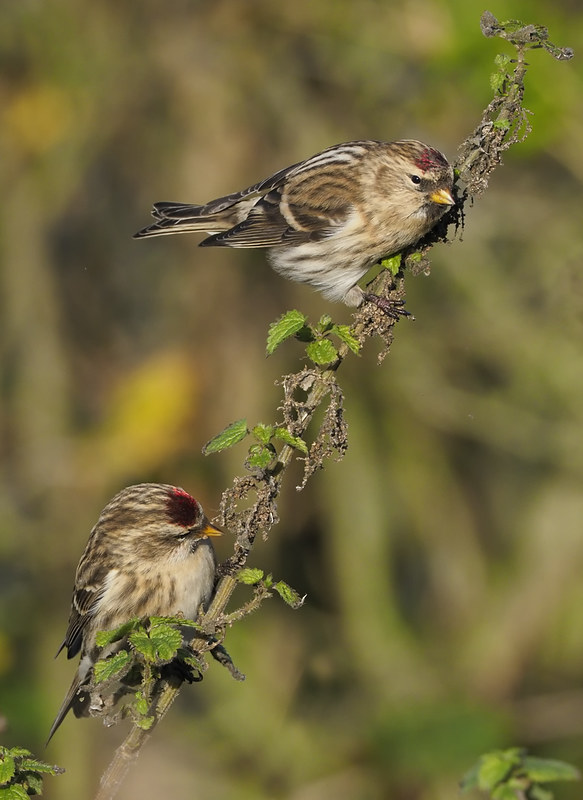 Redpolls - Mealy and Coue's Arctic