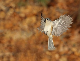 Tufted titmouse getting ready to land